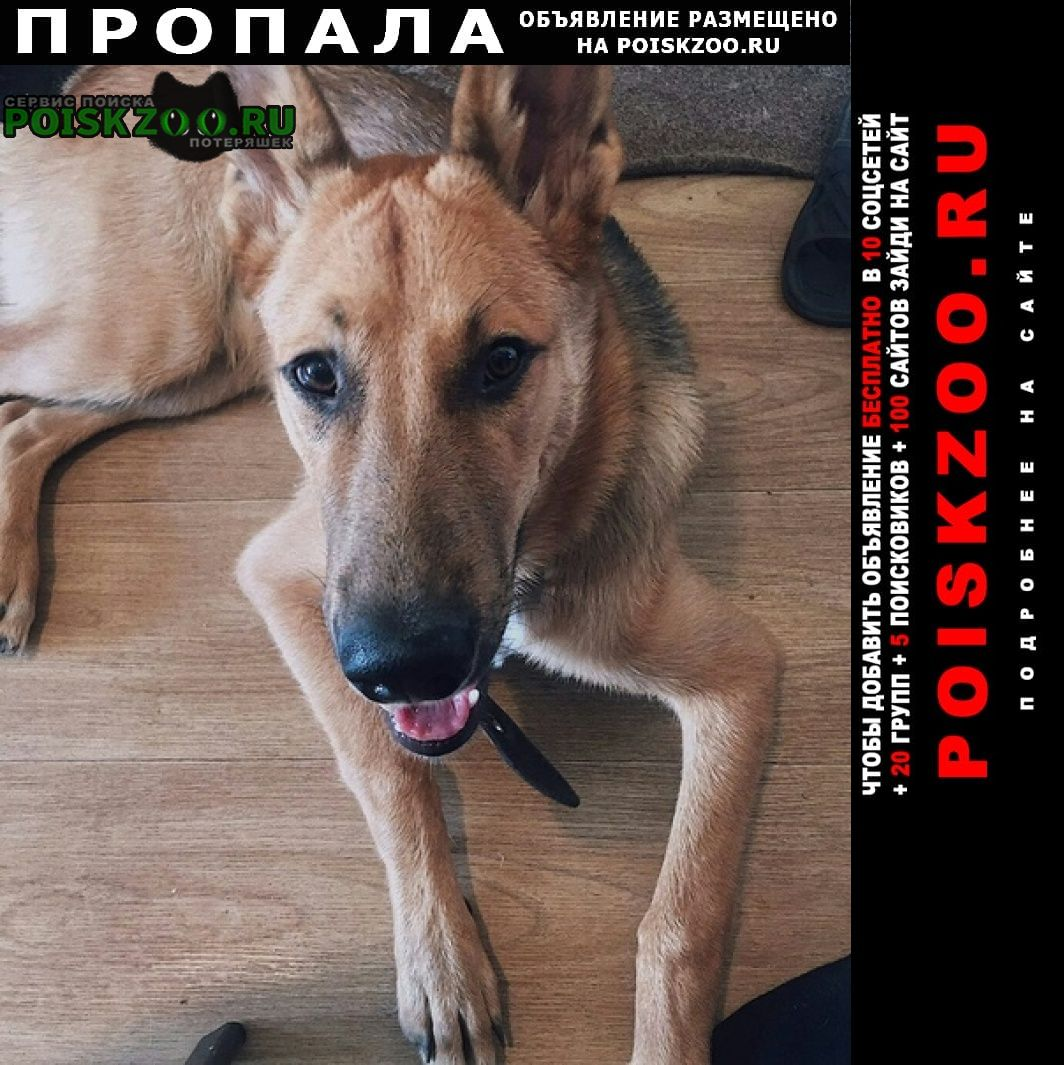 Пропала собака овчарка Новосибирск