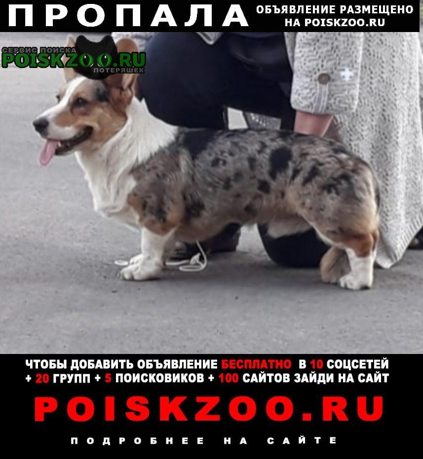 Пропала собака.. Кемерово