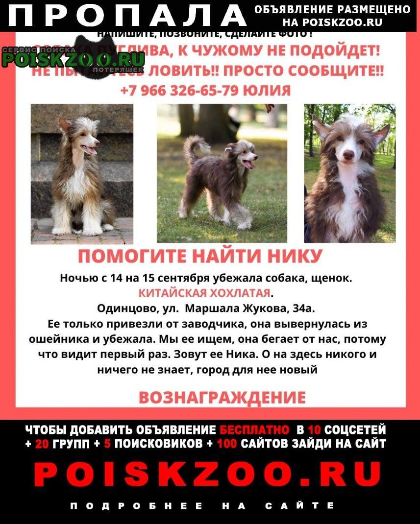 Пропала собака потерялась китайская хохлатая пугливая, Одинцово