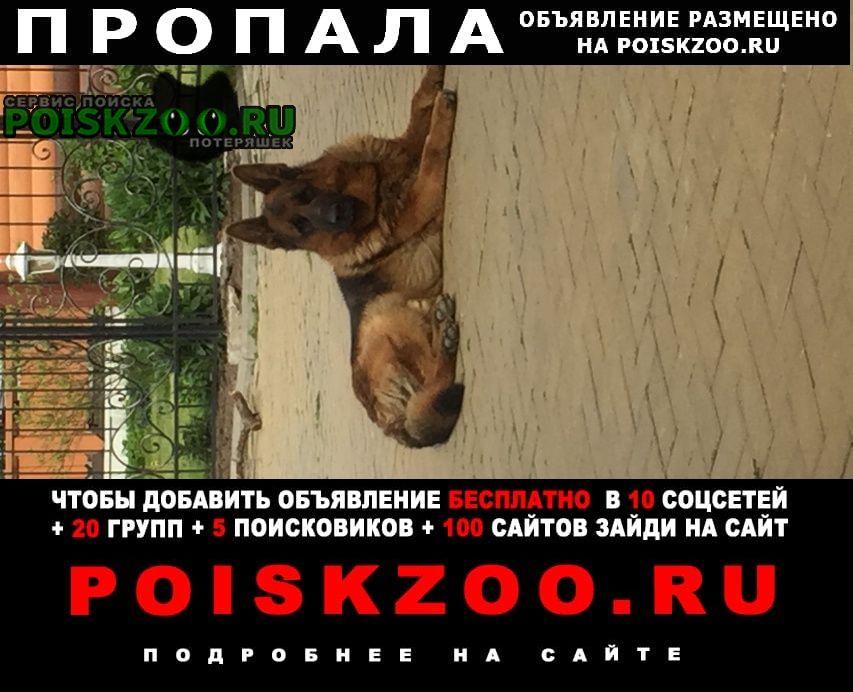 Пропала собака немецкая овчарка, кобель Всеволожск