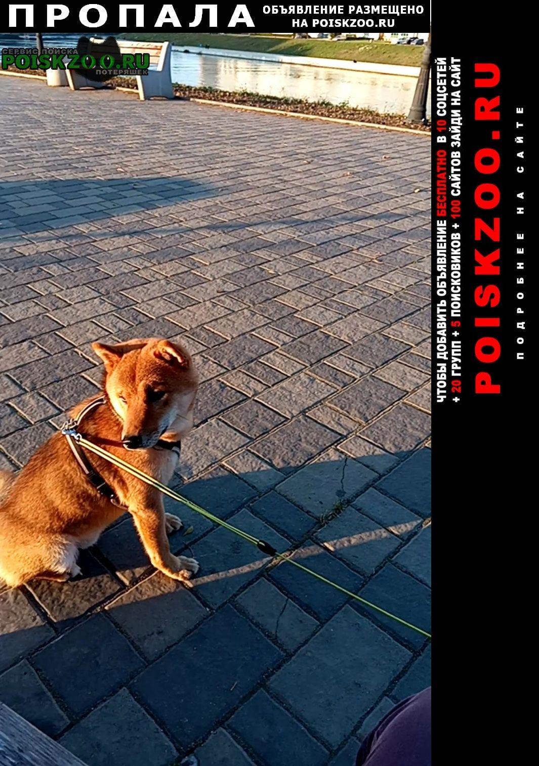 Пропала собака сиба-ину Сходня