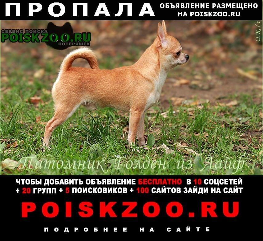 Пропала собака чихуахуа Санкт-Петербург
