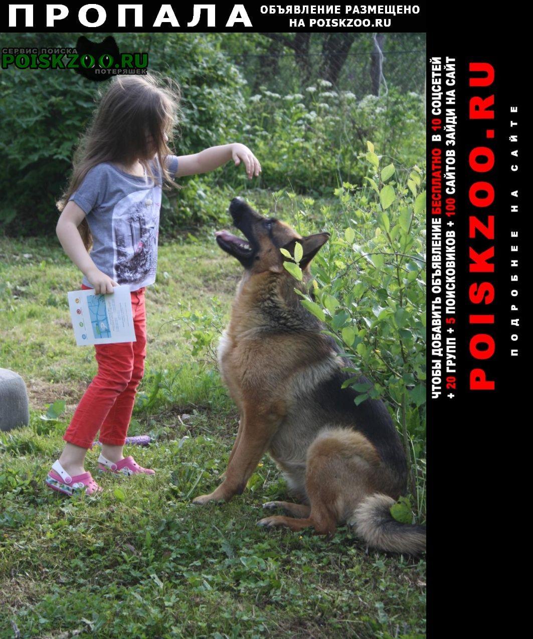Пропала собака овчарка Хотьково
