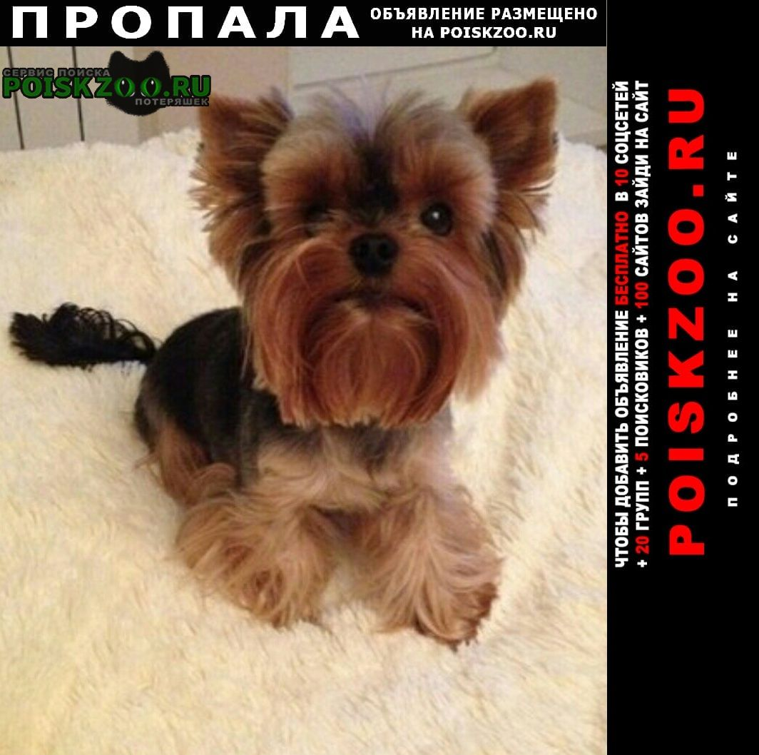 Пропала собака йорк-девочка Дубровка