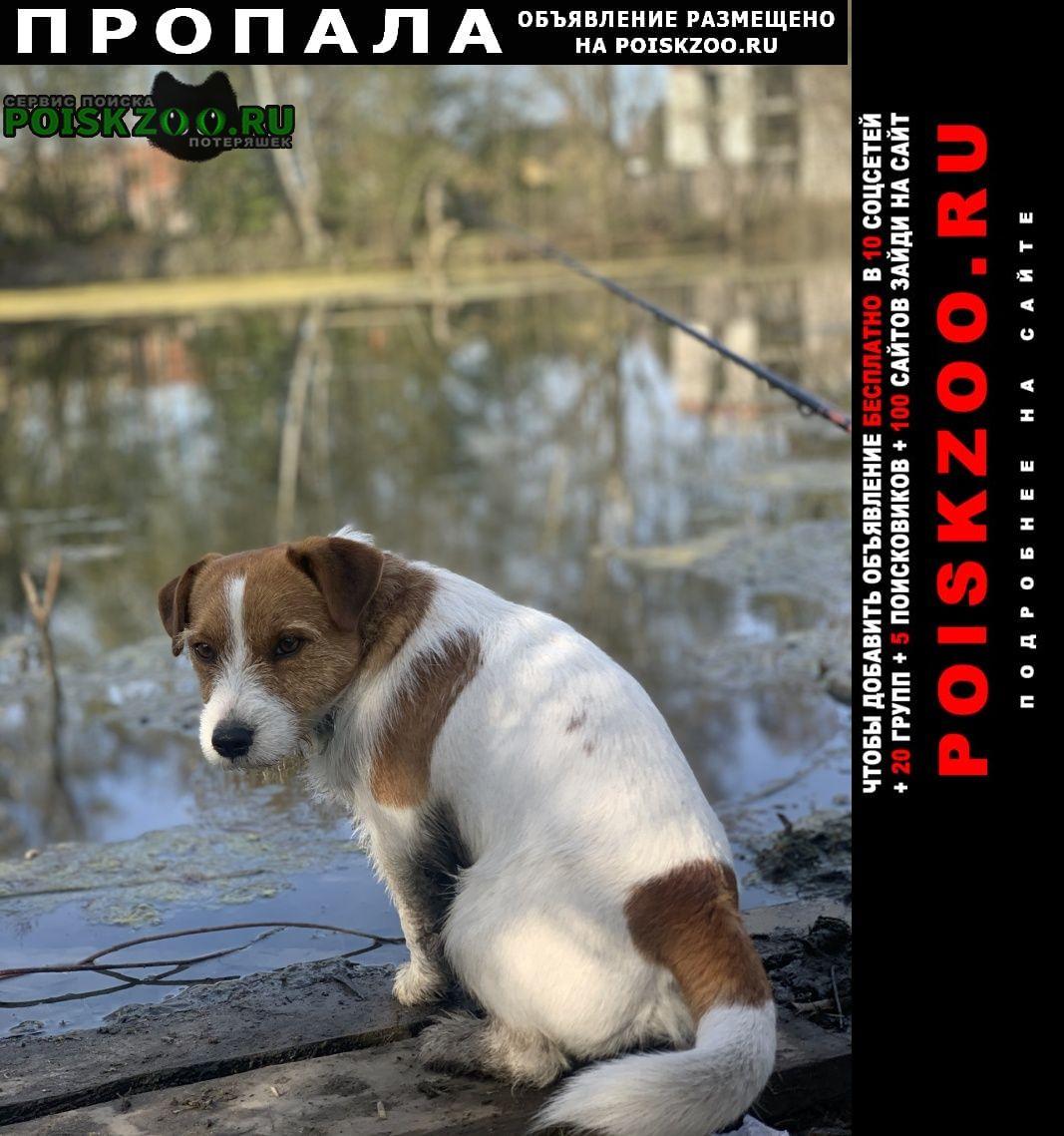 Пропала собака джек рассел терьер Зеленоградск