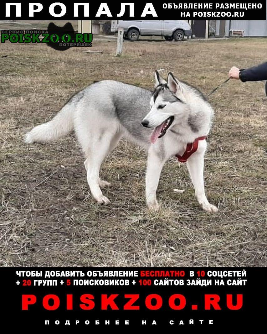 Пропала собака хаски Краснодар