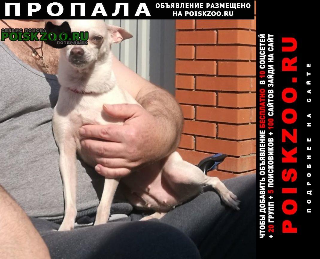 Пропала собака той-терьер в д. рожново Троицк