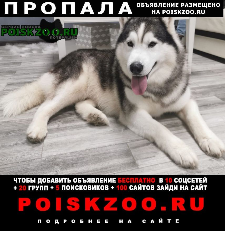 Пропала собака кобель хаски 8 лет. Черноморское