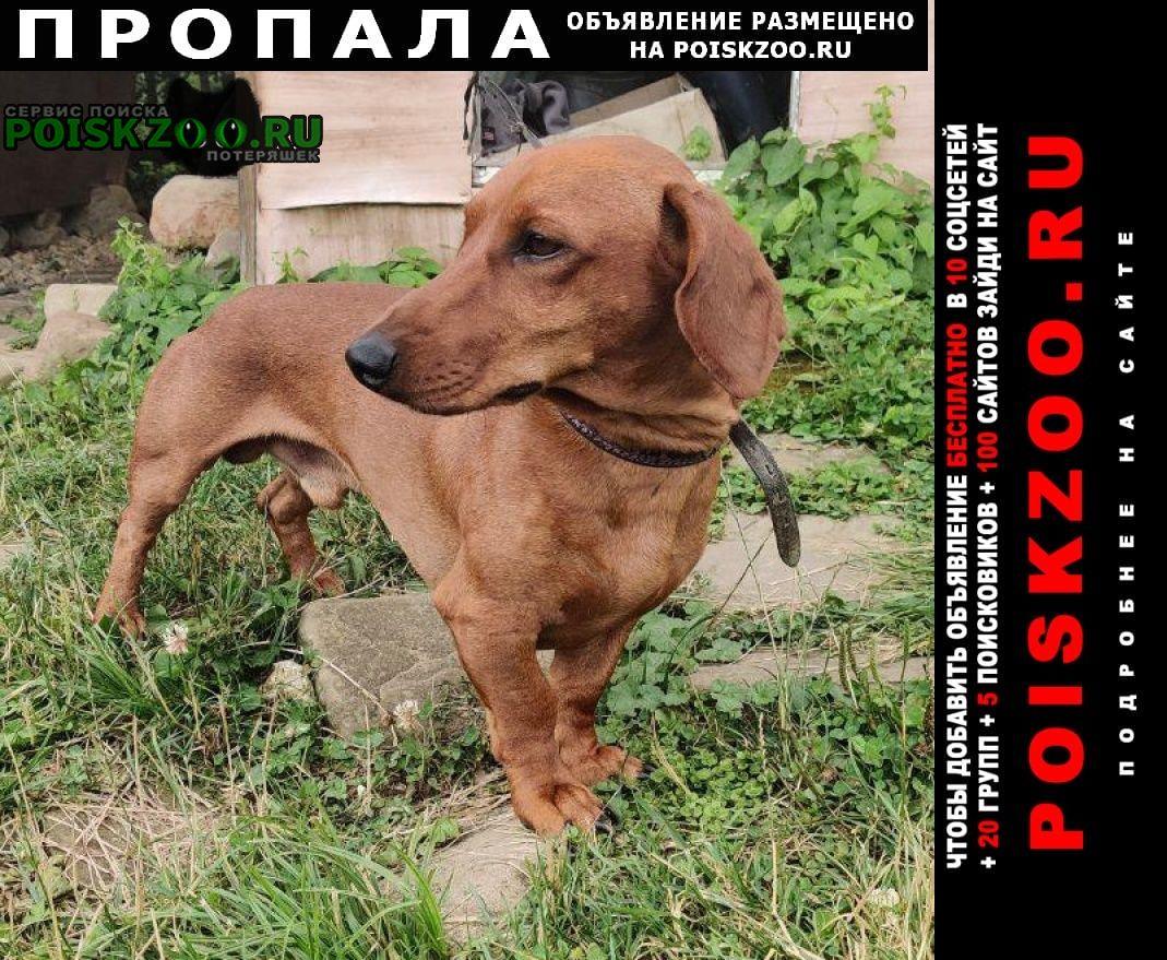 Майкоп (Адыгея) Пропала собака кобель таксы в с. новопрохладное
