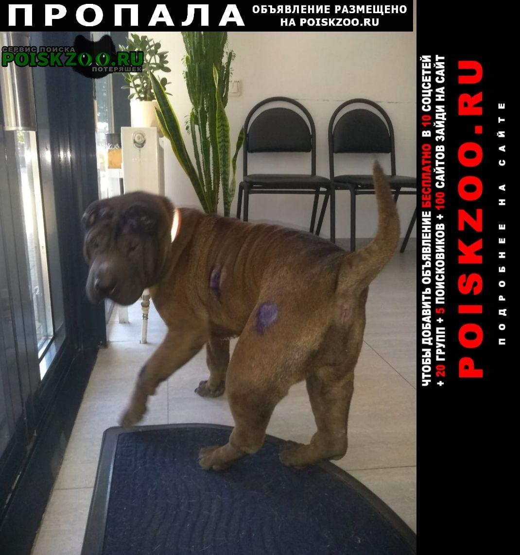 Пропала собака шарпей шоколадного цвета Краснозаводск