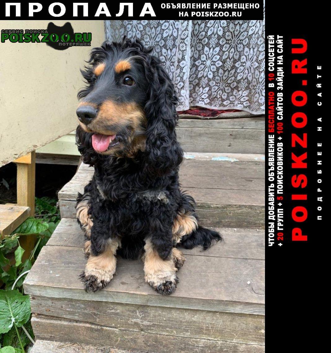 Пропала собака английский кокер спаниель Смоленск