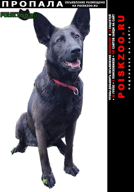 Калининград (Кенигсберг) Пропала собака чёрная овчарка