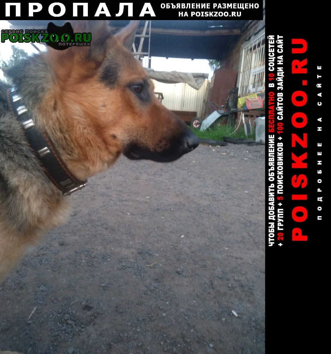 Пропала собака немецкая овчарка Пермь