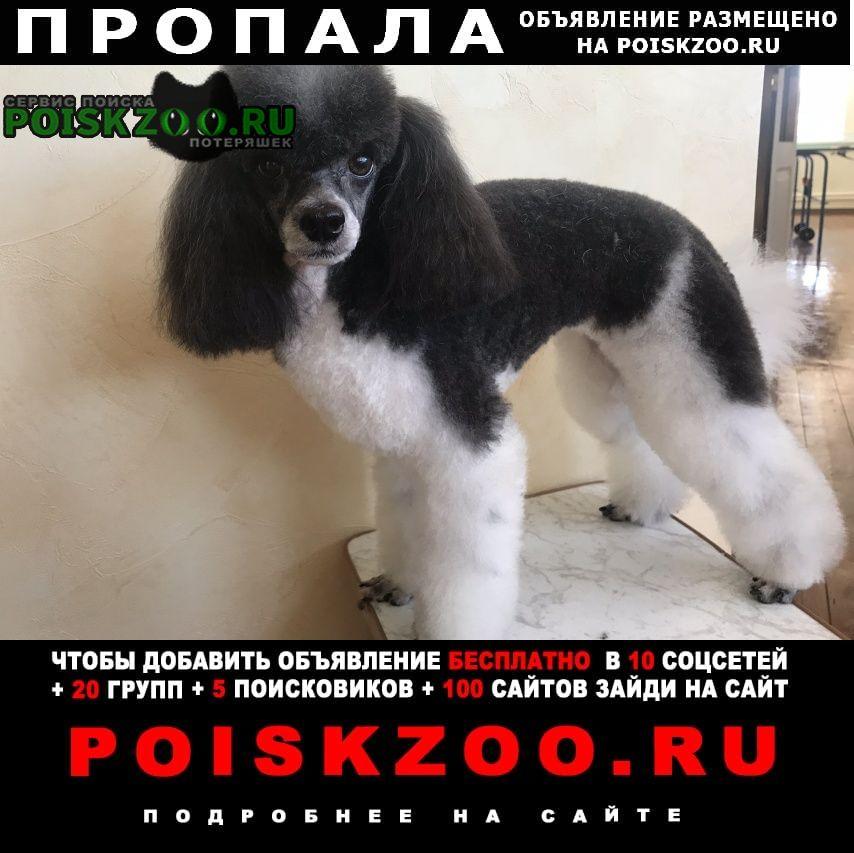 Пропала собака карликовый пудель Ангарск