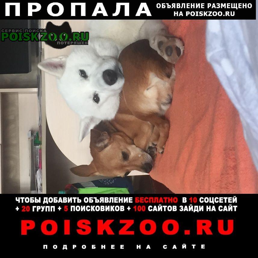 Пропала собака потерялись две собачки Сергиев Посад