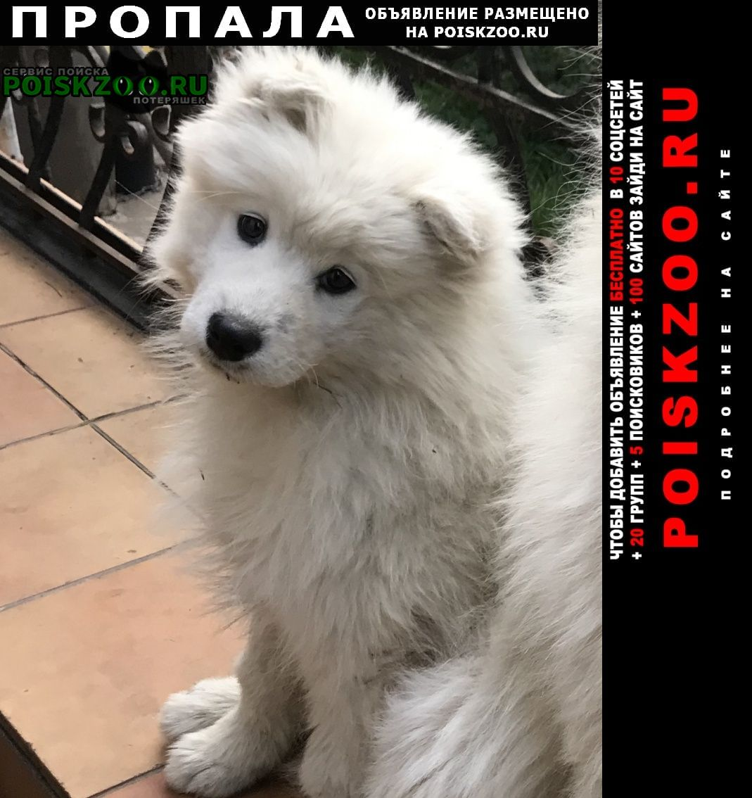 Пропала собака щенок самоеда Москва