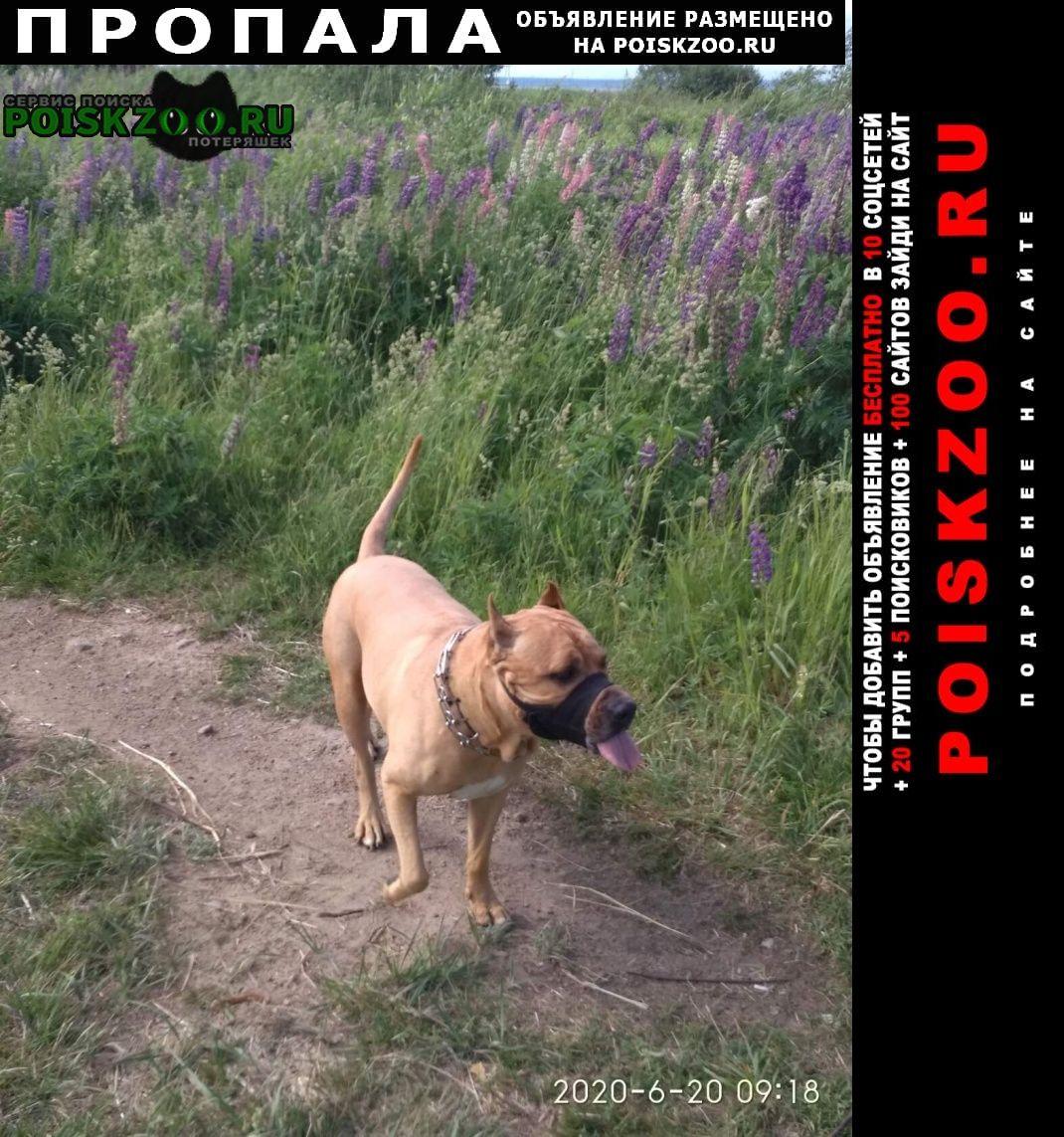 Пропала собака стаффорд митя 9лет рыжий Кронштадт