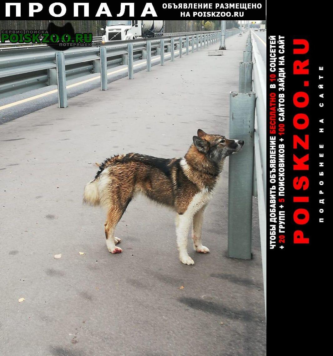 Пропала собака Тосно
