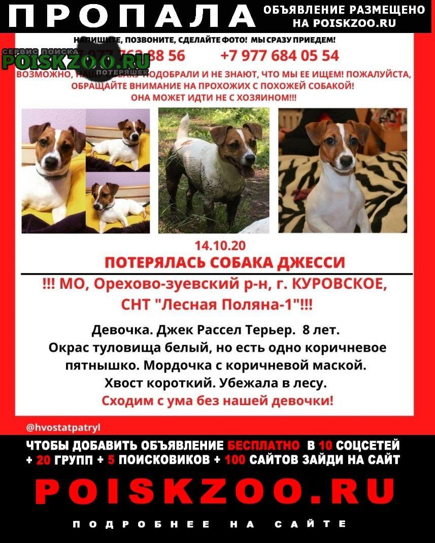 Пропала собака девочка джек рассел терьер Куровское
