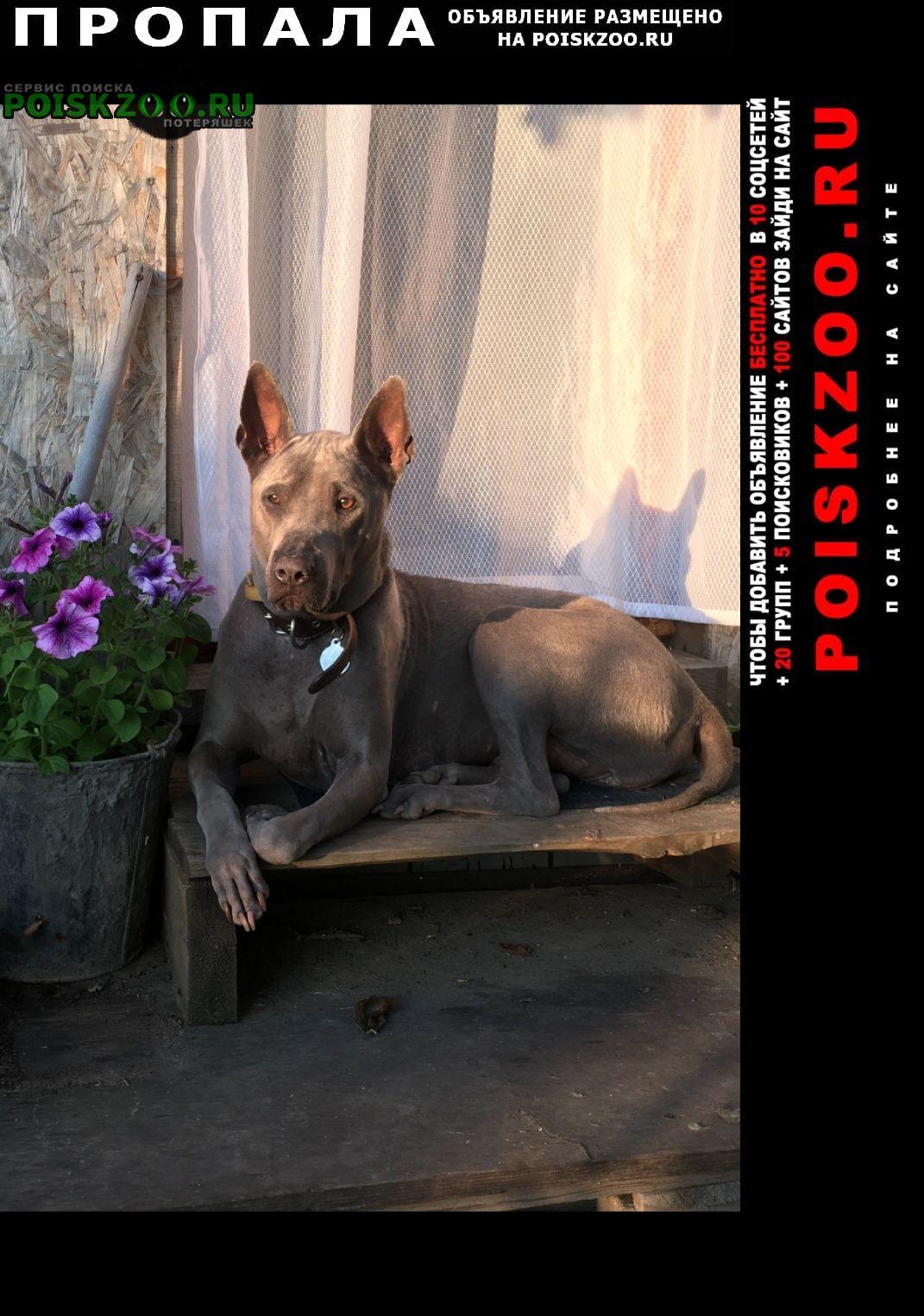 Пропала собака тайский ридж бэк Москва