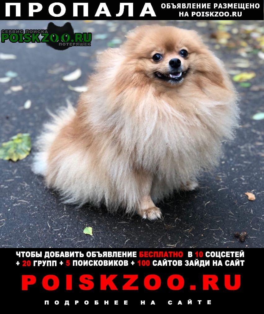 Пропала собака шпиц мальчик, рыжий, 4 года Москва