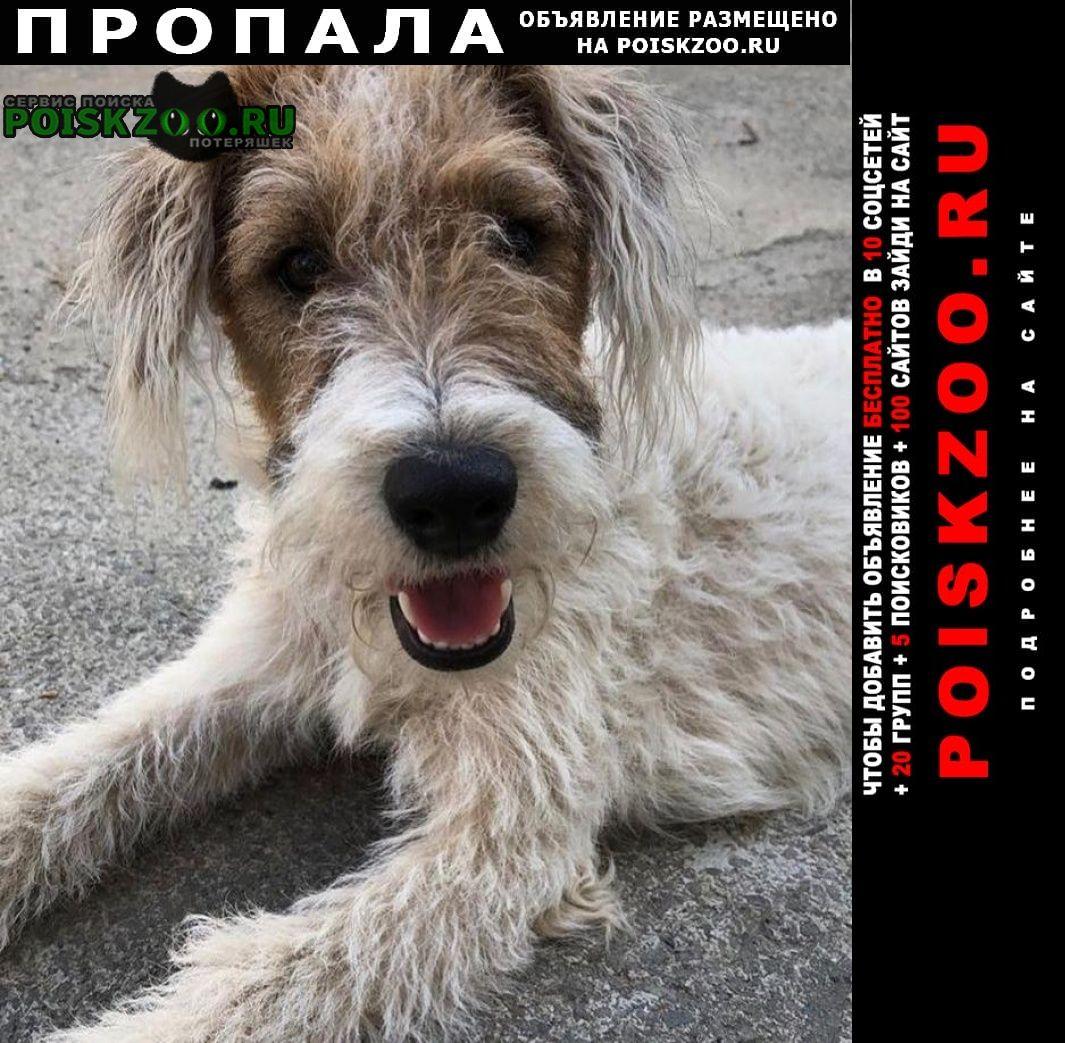 Пропала собака жесткошерстный фокстерьер Краснодар