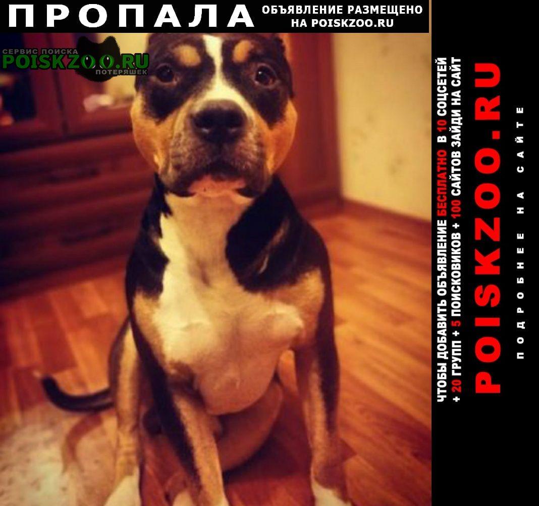 Пропала собака питбуль Москва