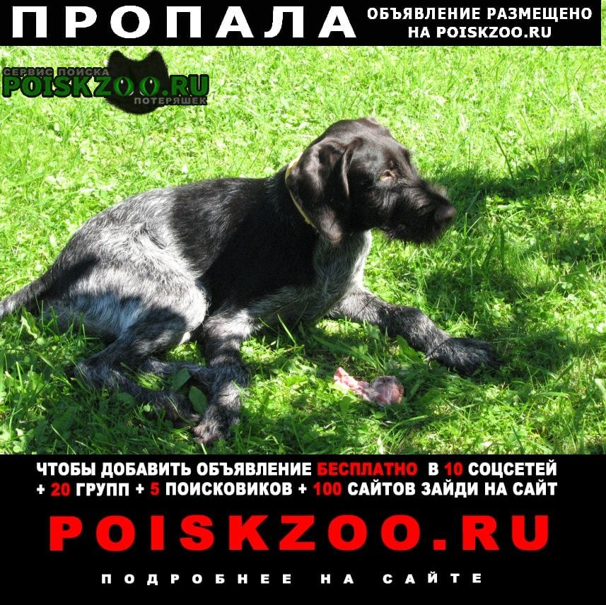 Пропала собака дратхаар груня Москва