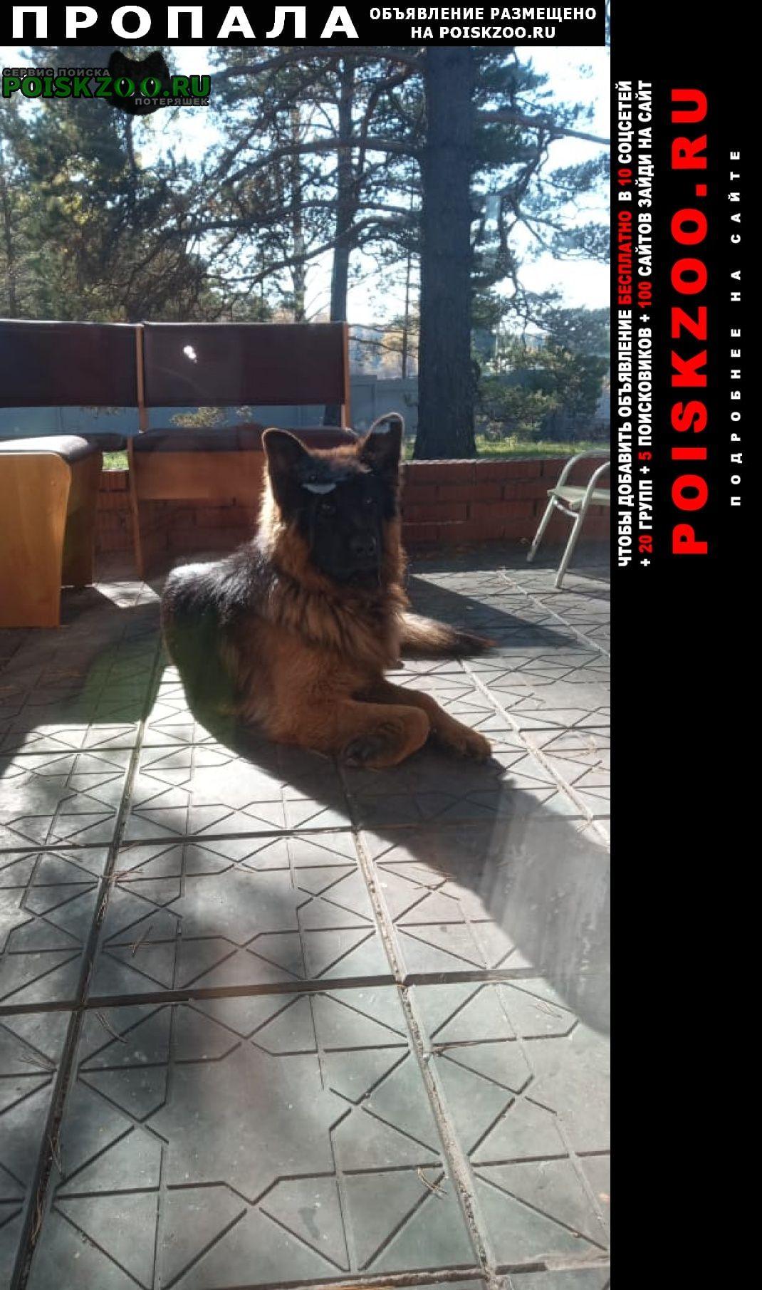 Пропала собака немецкая овчарка Новокузнецк