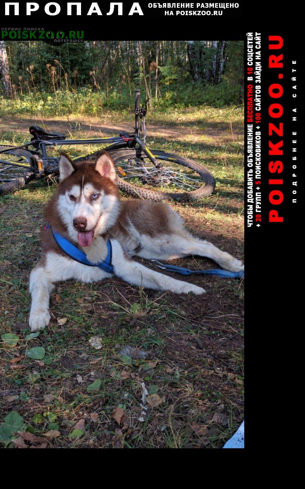 Пропала собака кобель хаски Арамиль