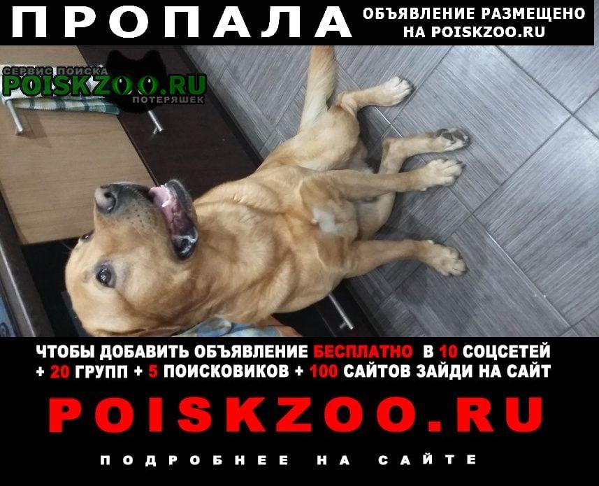 Пропала собака лабродор 7л Одинцово