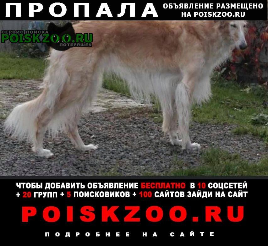 Пропала собака 2 русские борзые Санкт-Петербург