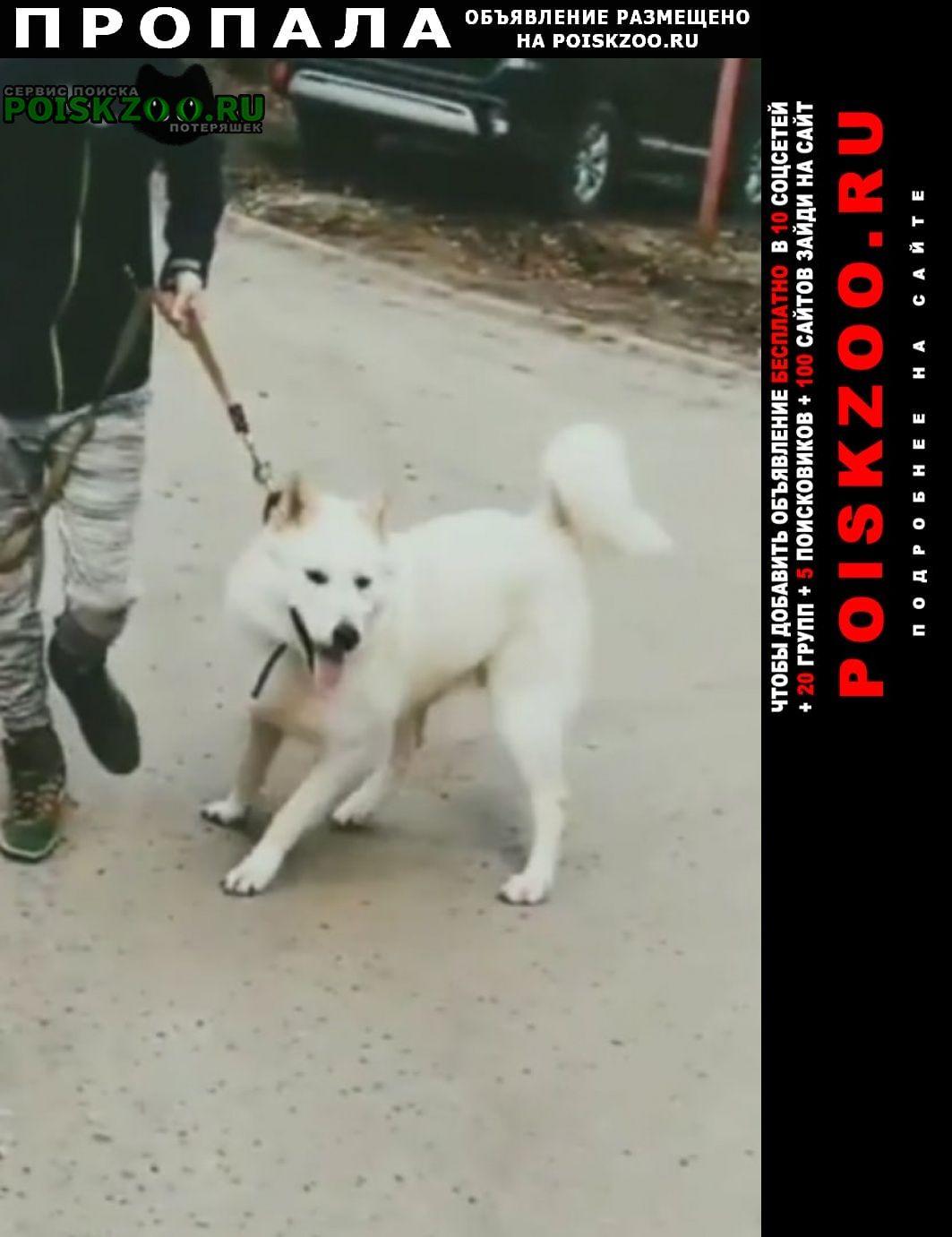 Пропала собака белая лайка Йошкар-Ола