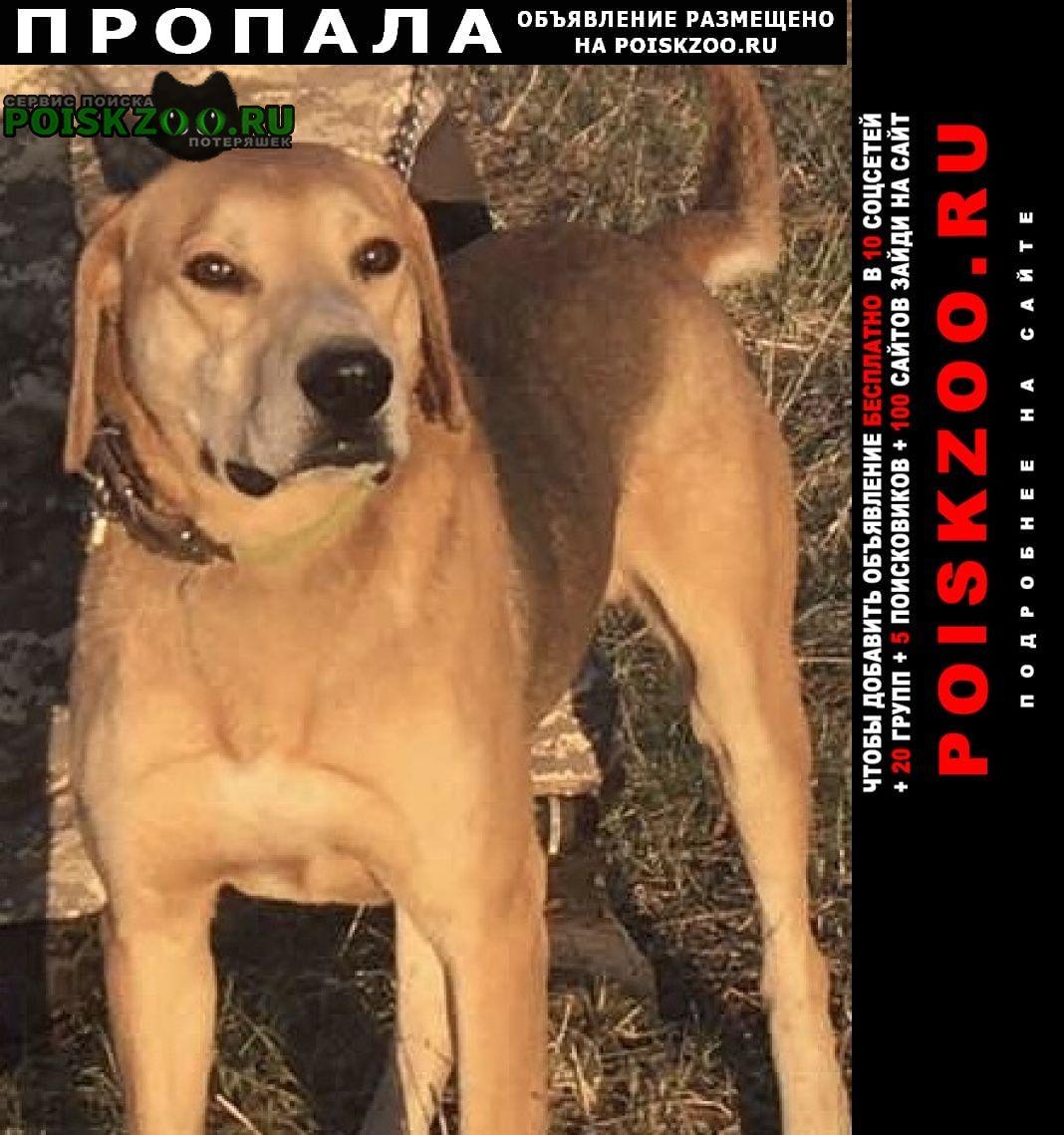 Пропала собака русская гончая Белгород