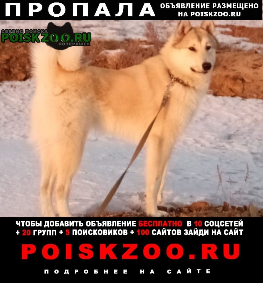 Пропала собака западно сибирская лайка Орск