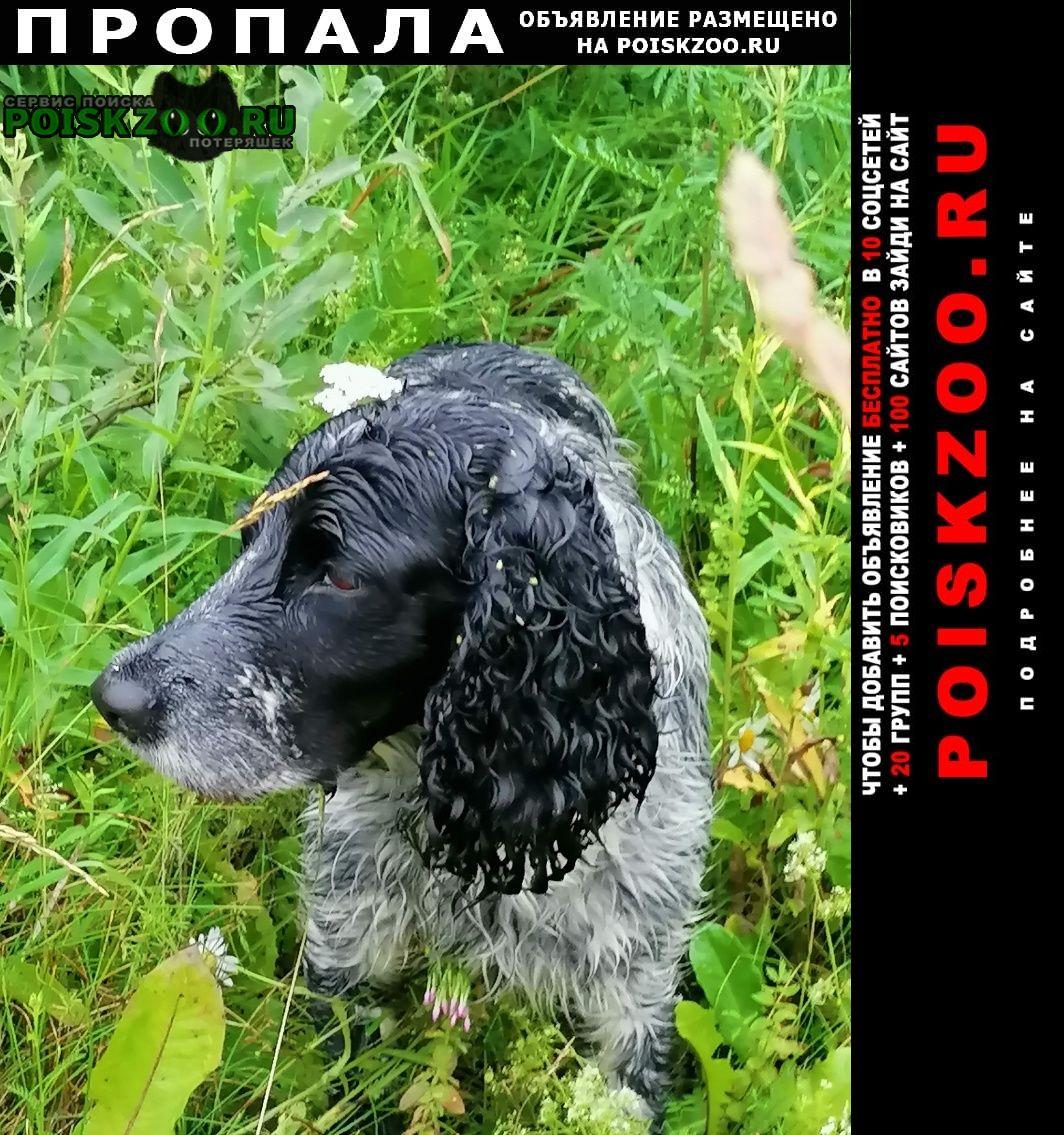 Тверь Пропала собака спаниель черно-белый