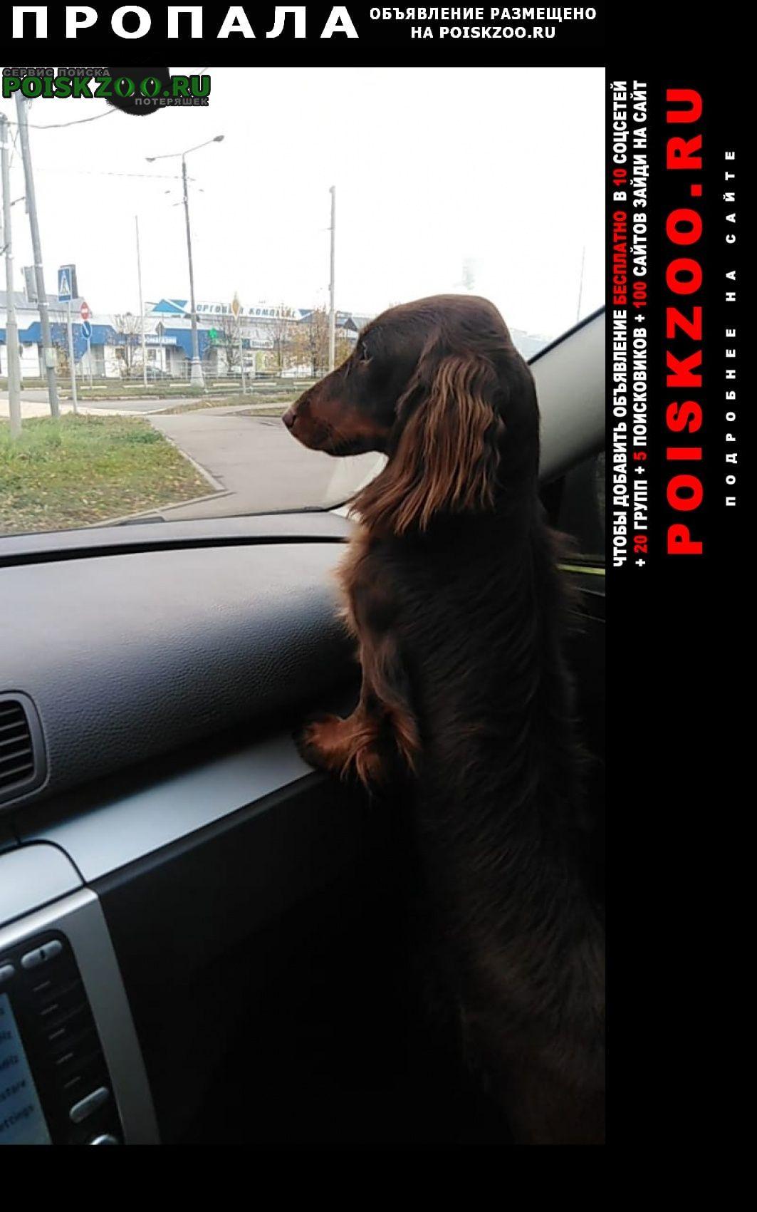 Пропала собака кобель длинношерстной таксы Пущино