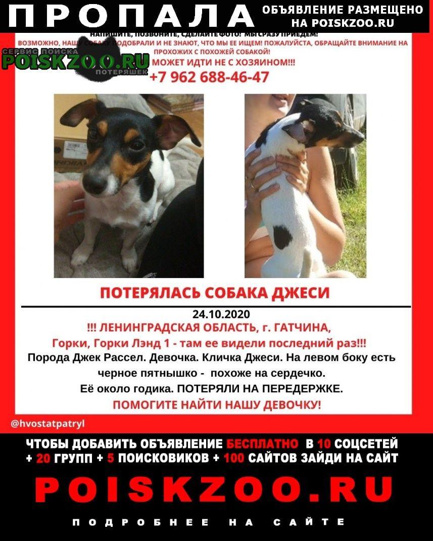 Пропала собака джек рассела Гатчина
