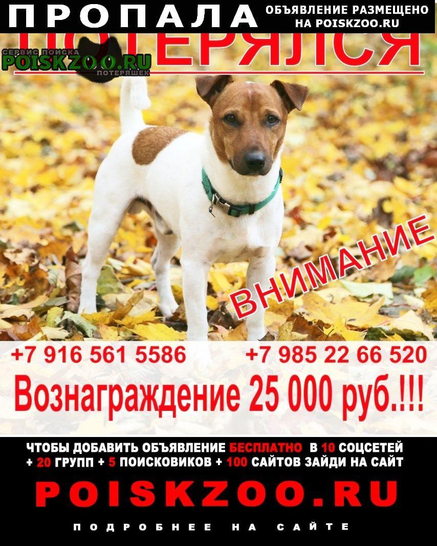 Пропала собака джек рассел, мальчик, 3 года Нарофоминск