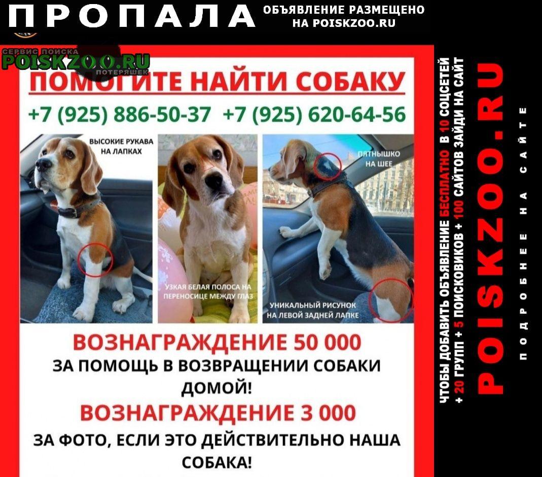 Москва Пропала собака бигль девочка.