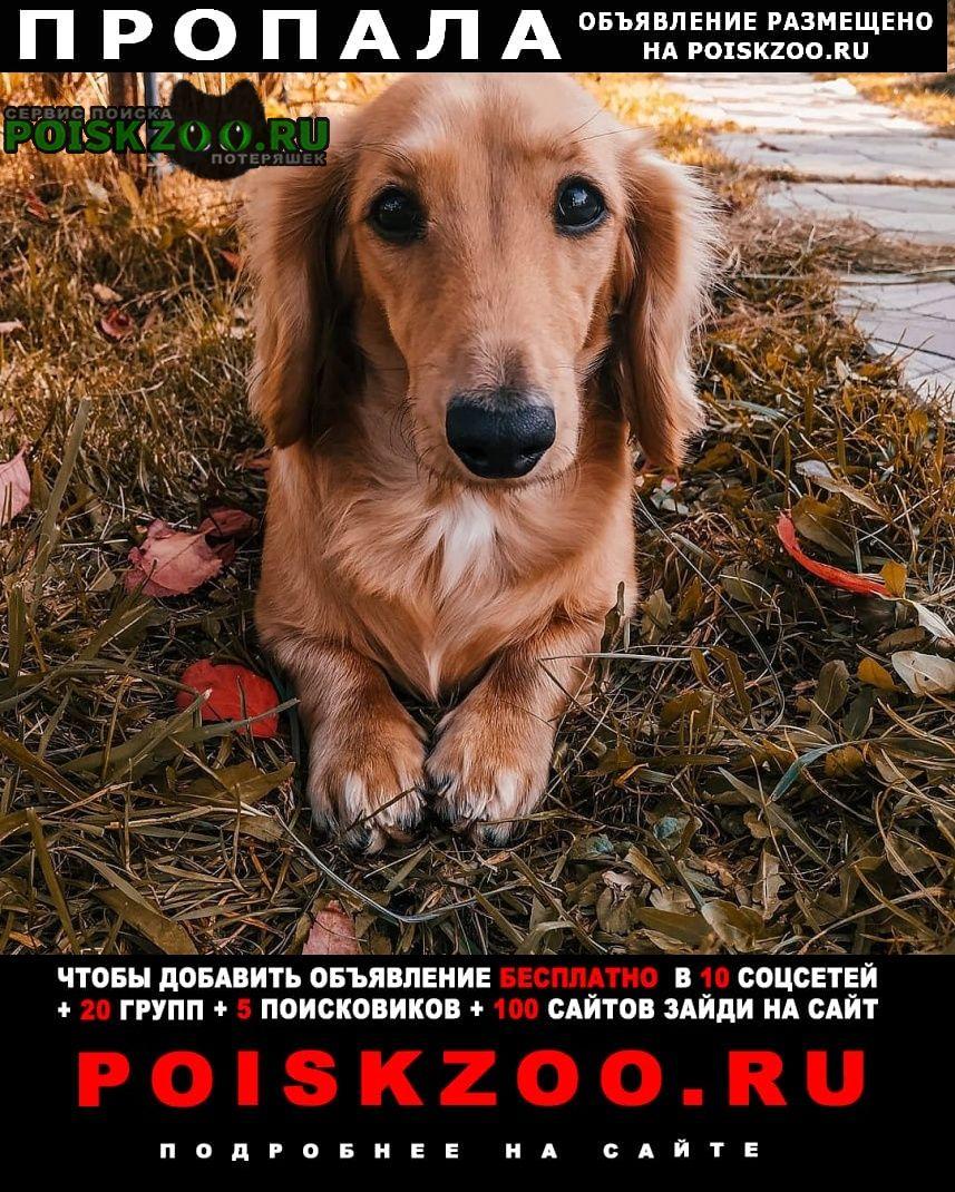 Пропала собака длинношерстная миниатюрная такса Москва