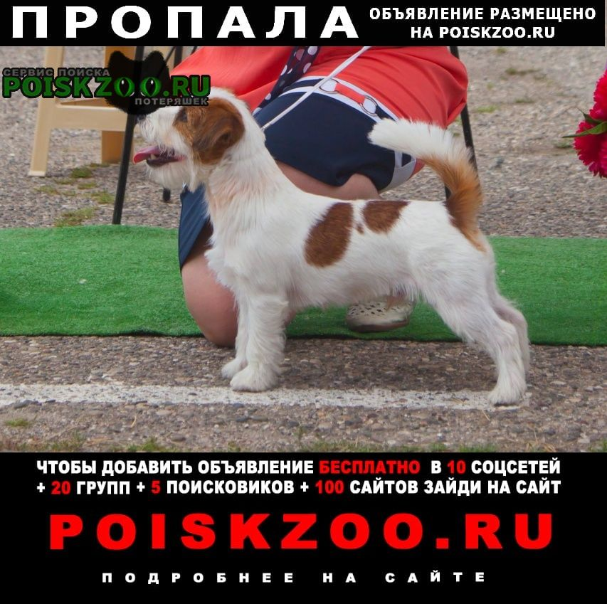 Пропала собака джек рассел. кобель.маленький.бело-рыж Ставрополь