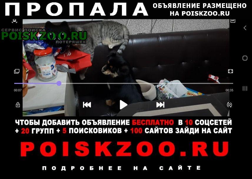 Пропала собака помесь пекинеса и той-терьера Новочеркасск