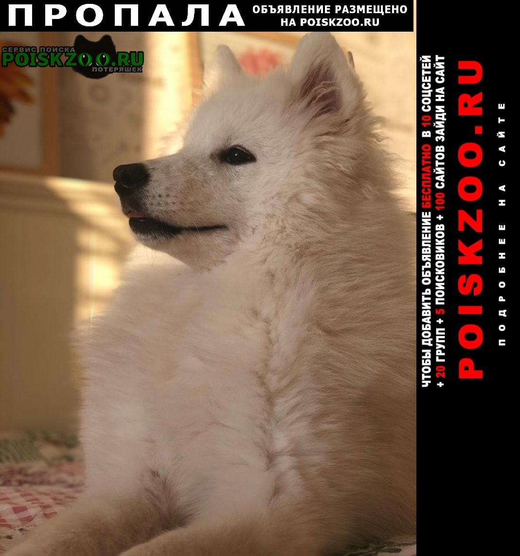 Пропала собака самоед Новосибирск