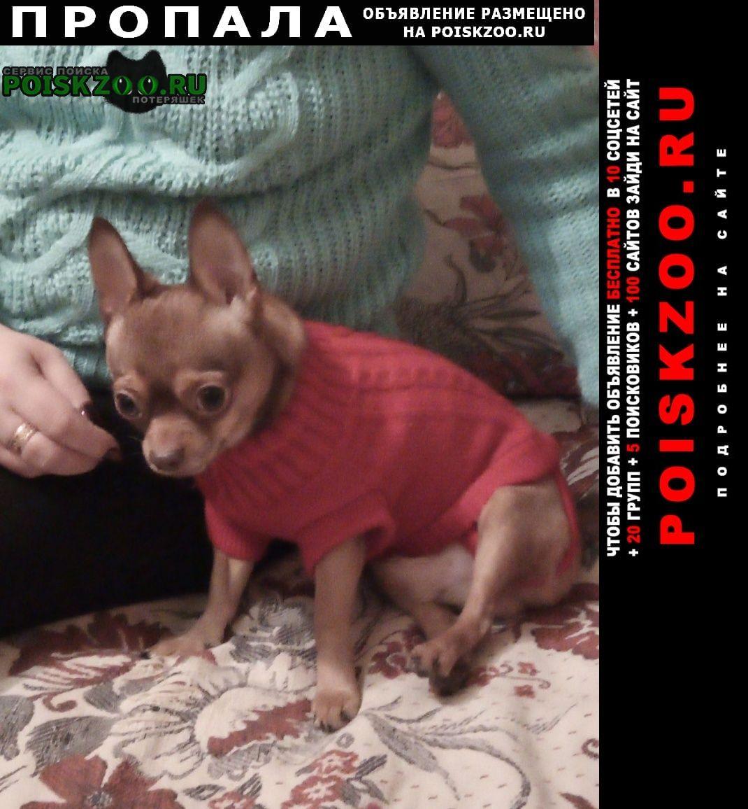Пропала собака порода чихуахуа.зовут ричи. окрас рыжий. Курск
