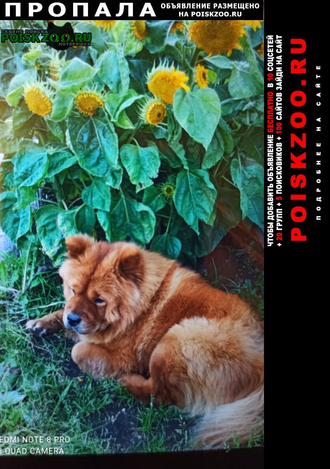 Пропала собака чау-чау Ярославль