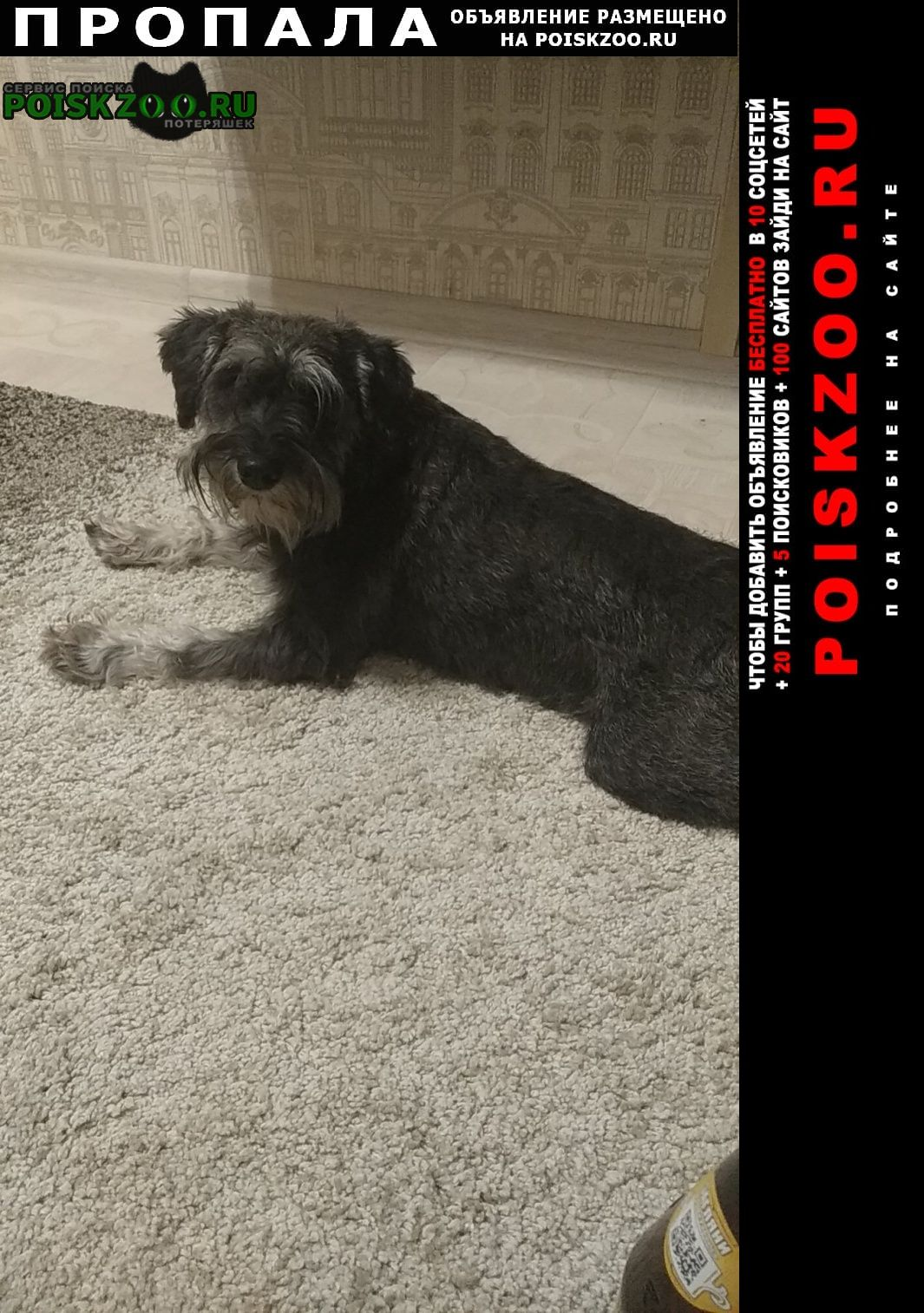 Пропала собака цвергшнауцер Люберцы