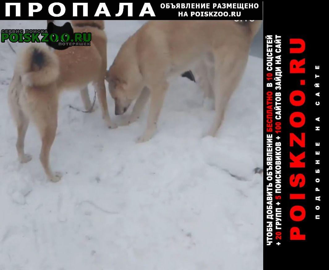 Пропала собака две лайки Оренбург