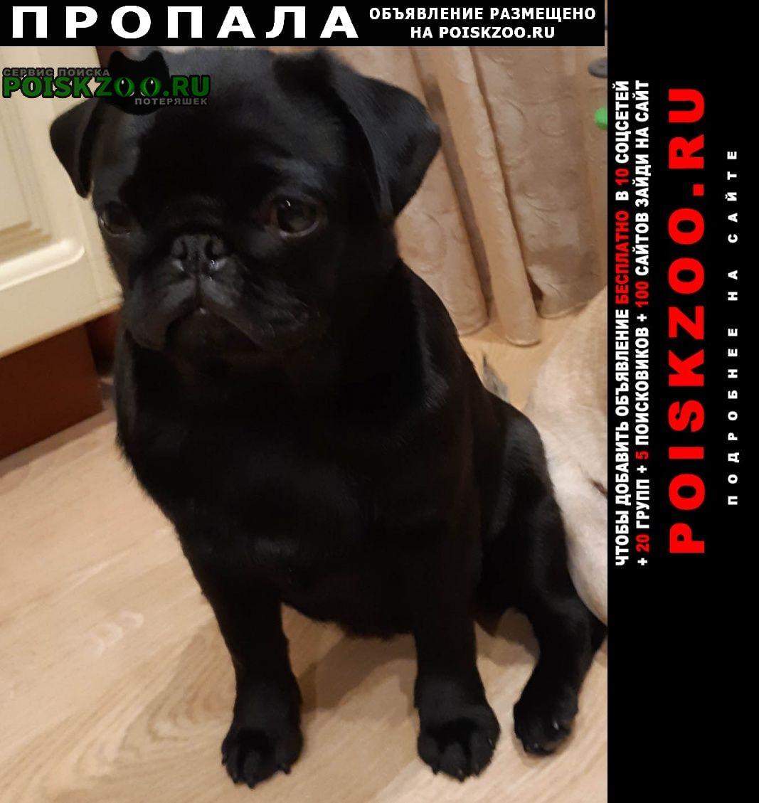 Люберцы Пропала собака мопс цвет черный