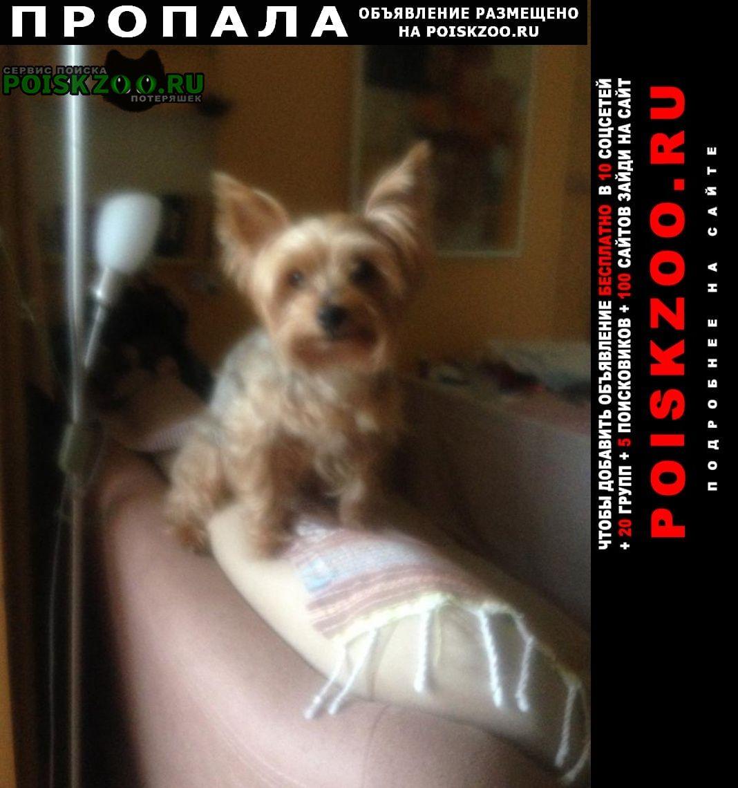 Пропала собака йоркширский терьер Геленджик